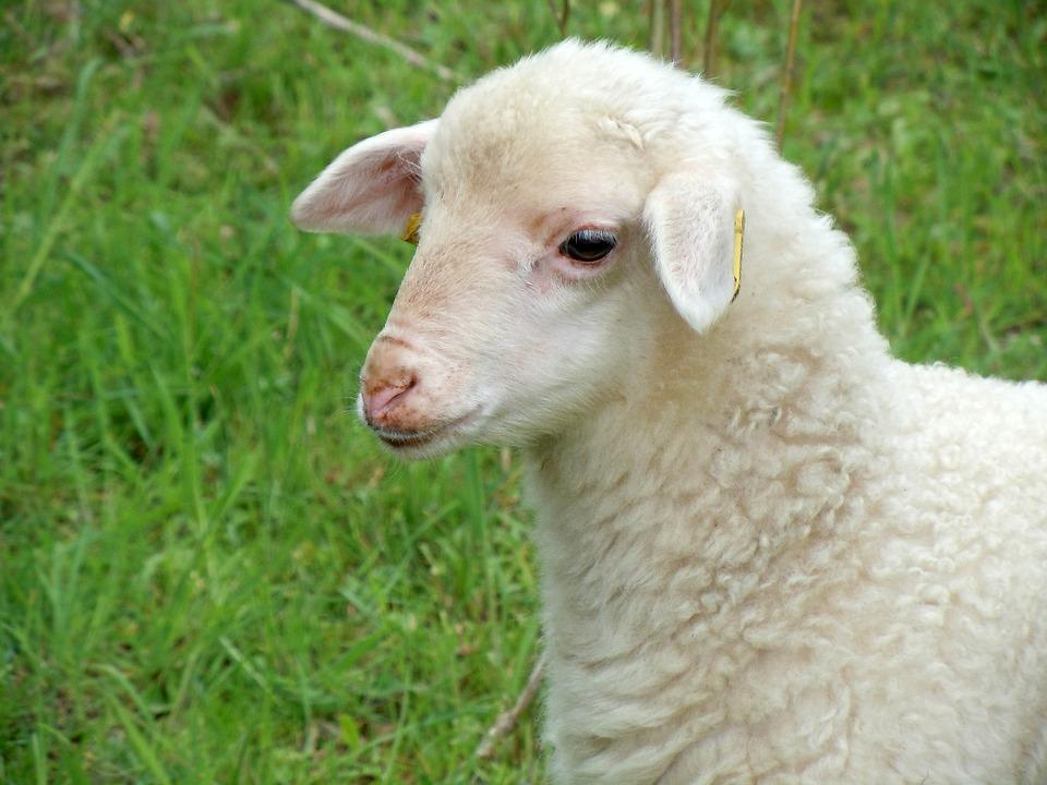 lamb-767991_960_720